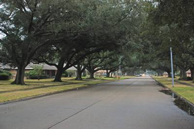 Live Oak Trees along   Enterprise Blvd